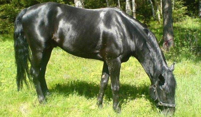 Вороная лошадь: описание породы и особенности масти