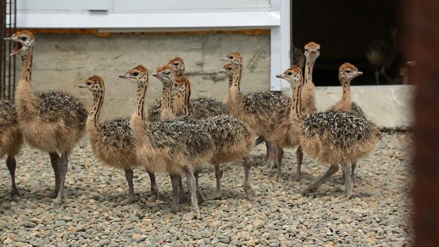 Все особенности разведения и содержания страусов в домашних условиях