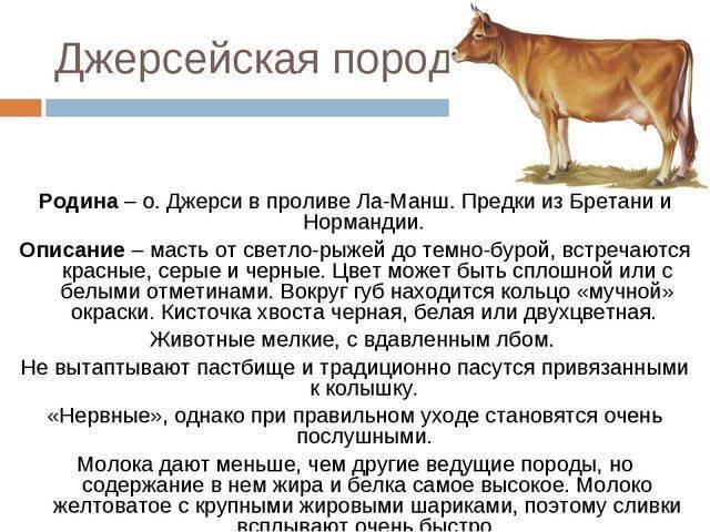 Джерсейская порода коров (30 фото): характеристика быков джерси и количество молока, которое дают коровы, плюсы и минусы крс, откорм телят, отзывы