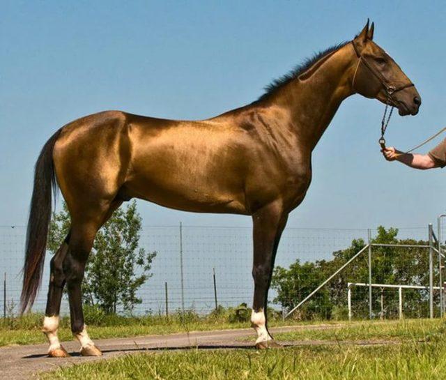 ✅ лошадиные масти: описание лошадей белой, караковой, черной, коричневой, рыжей мастей - tehnomir32.ru