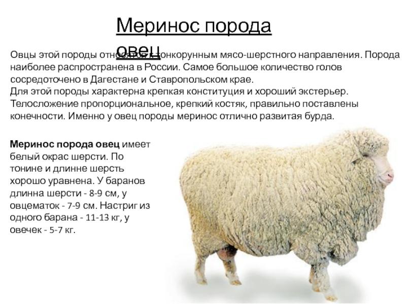 Молочное овцеводство – модная тенденция или возможность заработать — agroxxi
