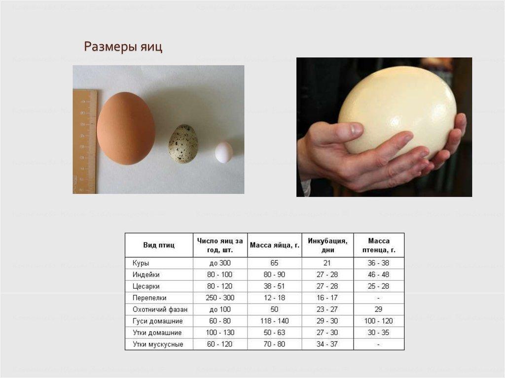 Сколько яиц несет курица в день, месяц, год?