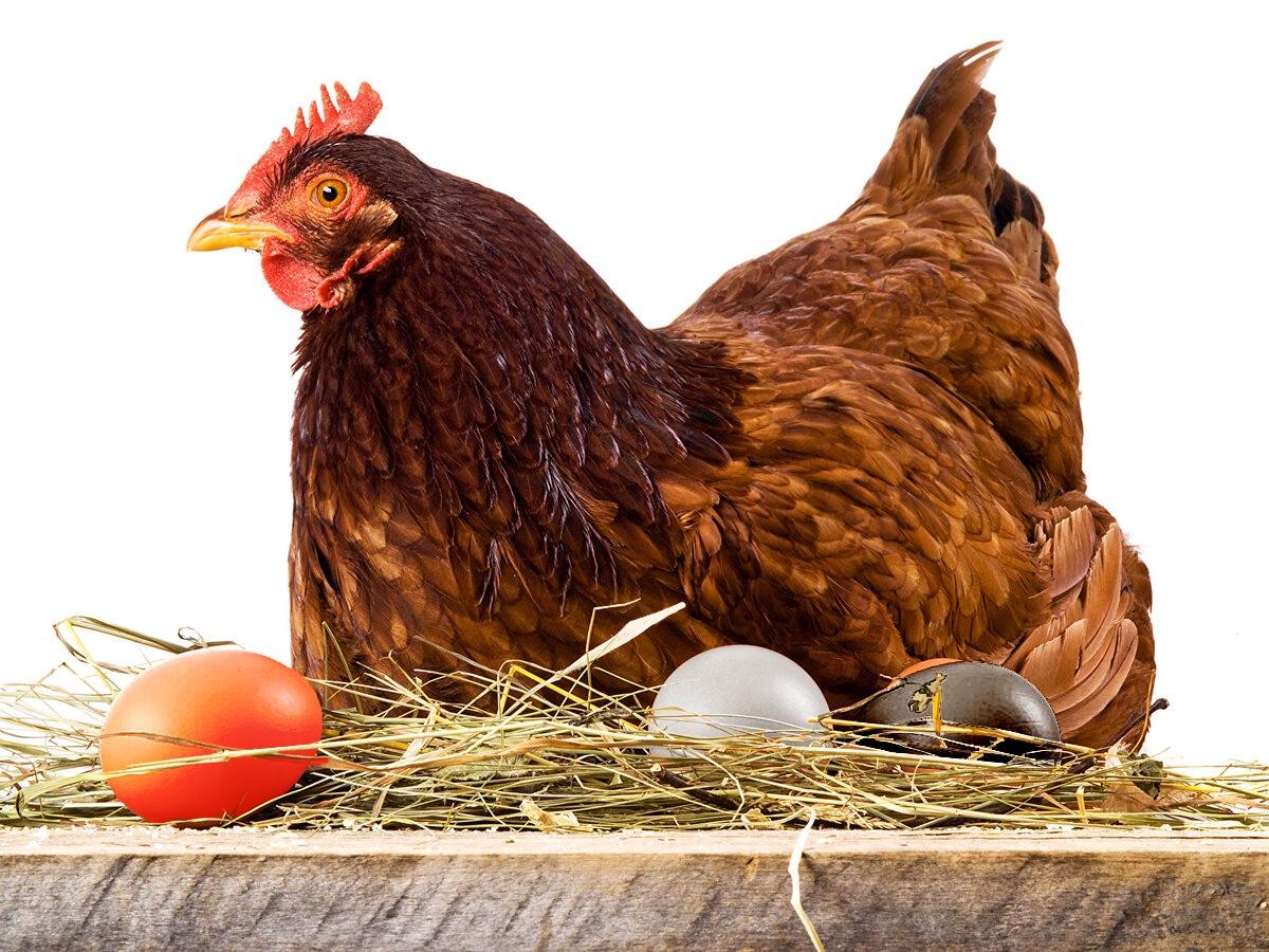 Когда ждать яиц от молодок: в каком возрасте начинает нестись курица и можно ли ускорить сроки начала кладки