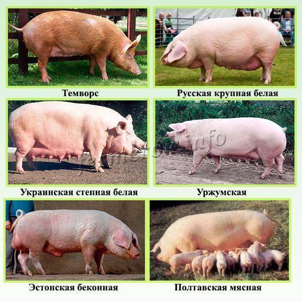 Крупная белая порода свиней – характеристики, описание, выращивание 2020
