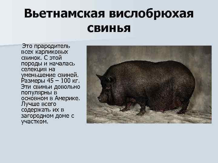 Характеристика и описание крупной черной породы свиней