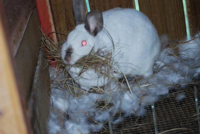 Окрол или роды крольчихи: как определить и сколько длится беременность у кроликов