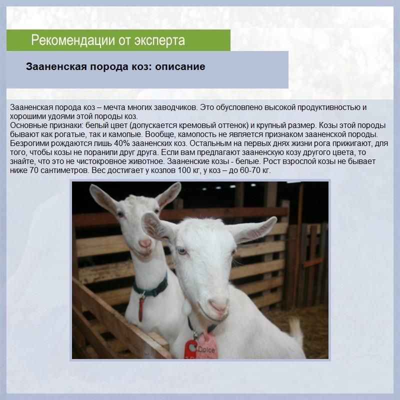 Нубийская порода коз