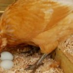 Почему куры клюют свои яйца и что делать - 7 способов решить проблему