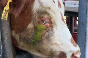 У теленка красные глаза и слезятся