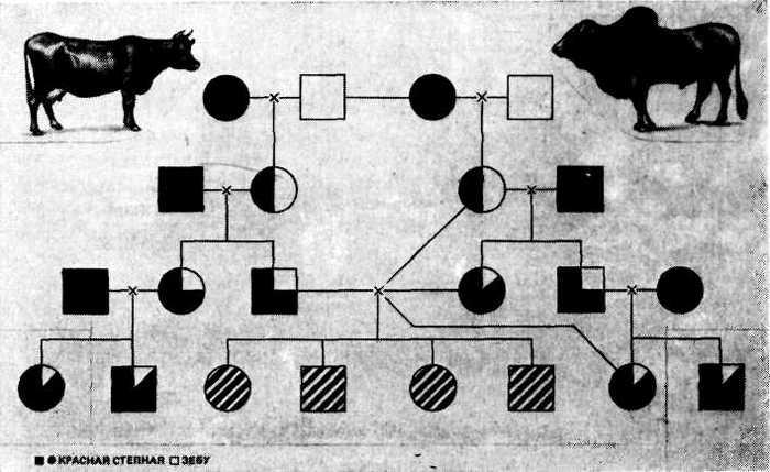 Случка коров: половой цикл и особенности спаривания