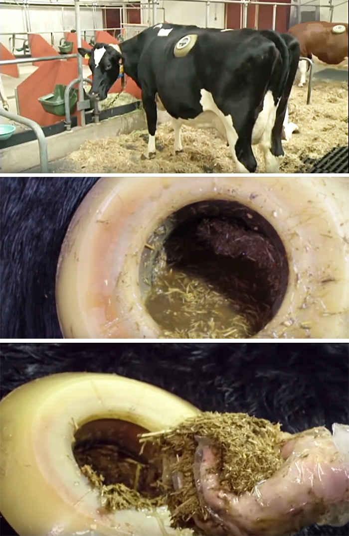 Что делать при тимпании рубца коровы: почему вздувается желудок и как лечить