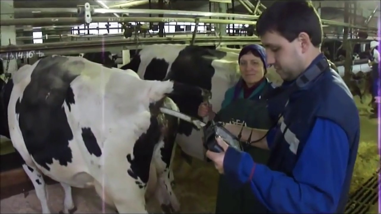 Стельная корова: как определить стельность в домашних условиях