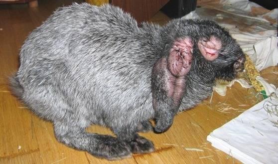 Болезни ушей у кроликов: лечение чесотки, коросты и других болячек