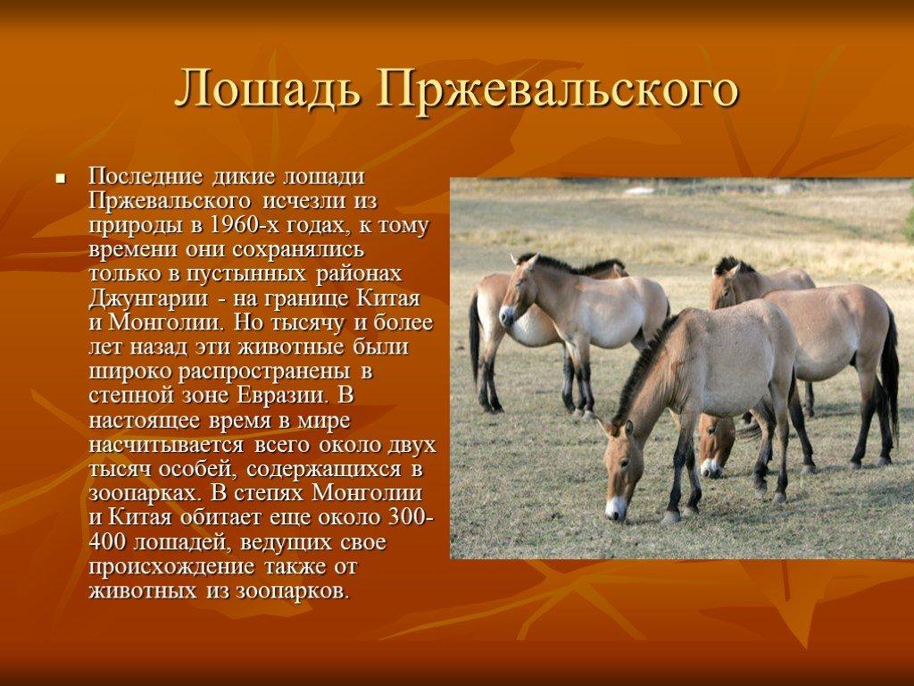 Чем интересна лошадь пржевальского - описание животного, какие факты о нем известны