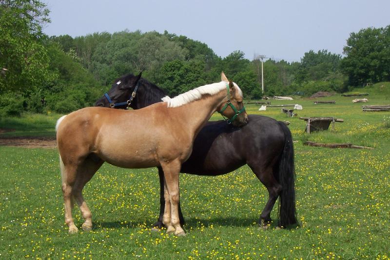 Чем отличается конь от мерина