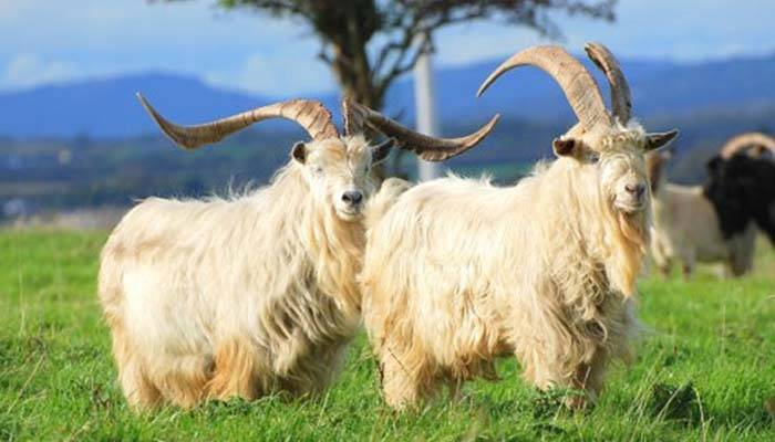 Породы коз: популярные разновидности, описание + фото