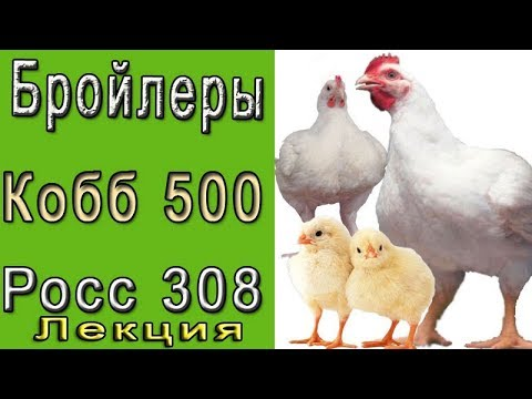Бройлерный кросс росс-308
