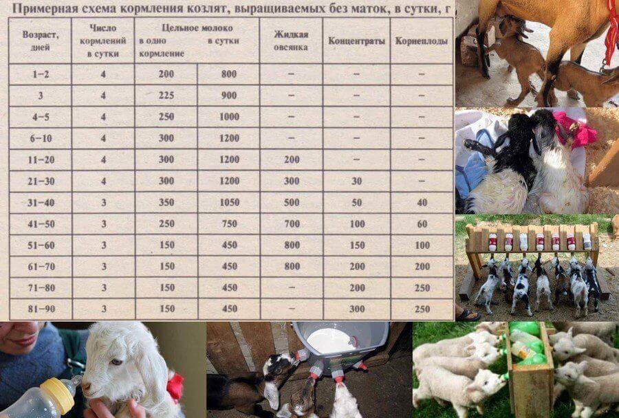 Сколько молока дает коза в сутки и что влияет на удой