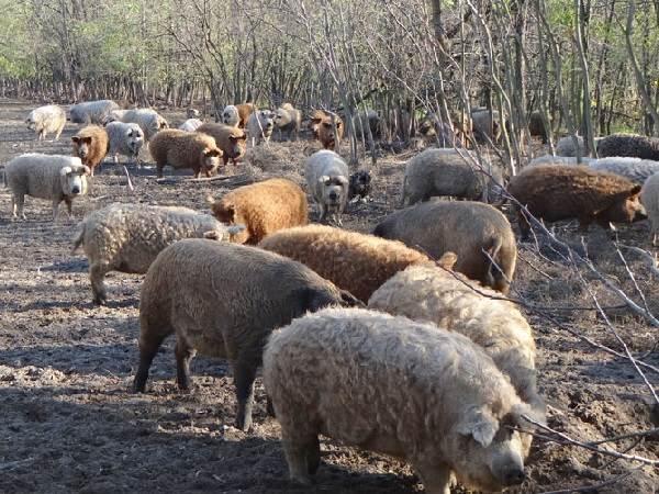 Ливенская порода свиней: характеристика, описание, содержание
