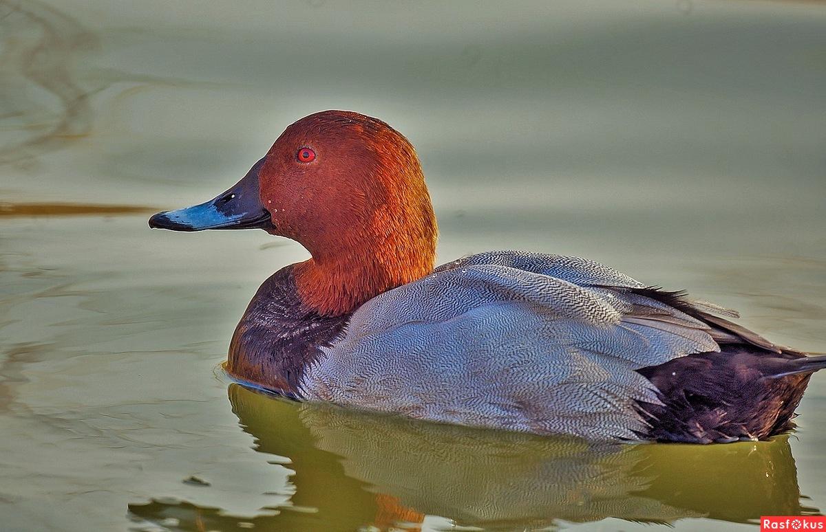 Утка нырок: виды, описания с фото и местами обитания нырковых уток россии