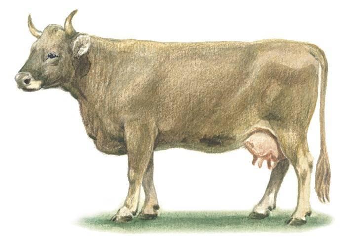 Швицкая порода коров: характеристика, плюсы и минусы