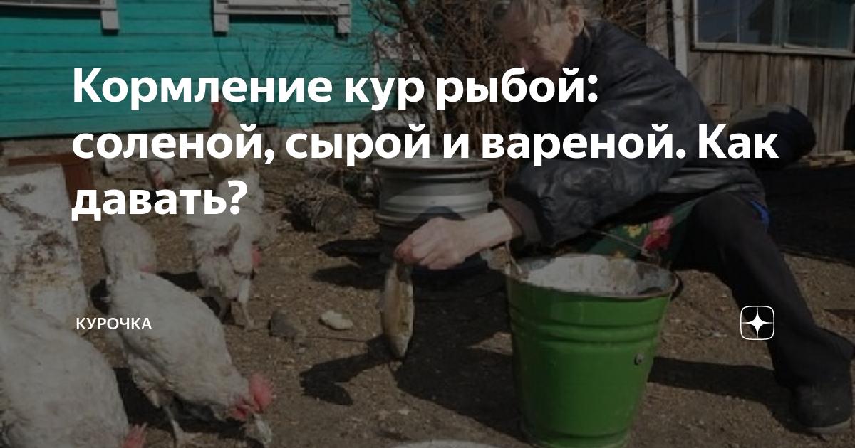 Можно ли кормить кур сырой рыбой. рыба в рационе несушек