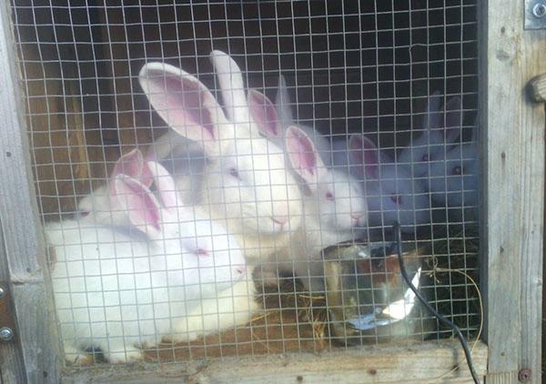 Когда крольчата начинают есть самостоятельно