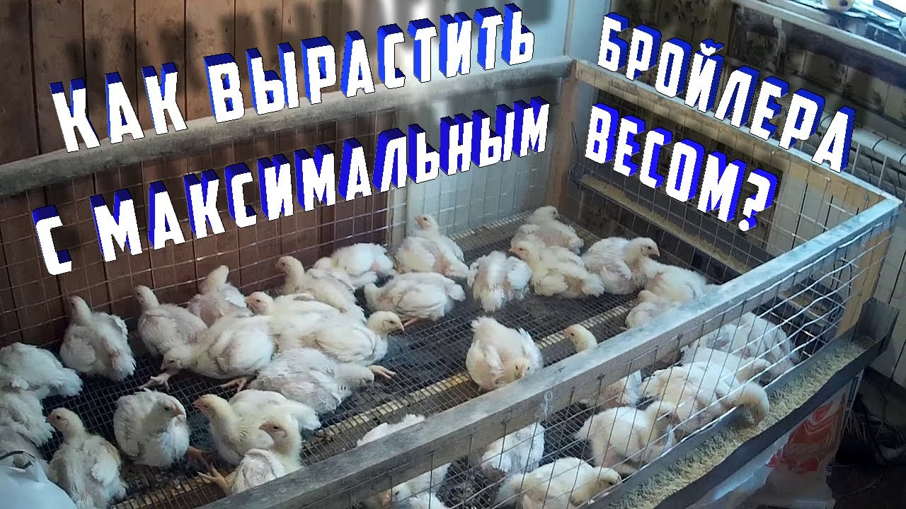 Цыплята бройлеры: чем кормить и как вырастить в домашних условиях