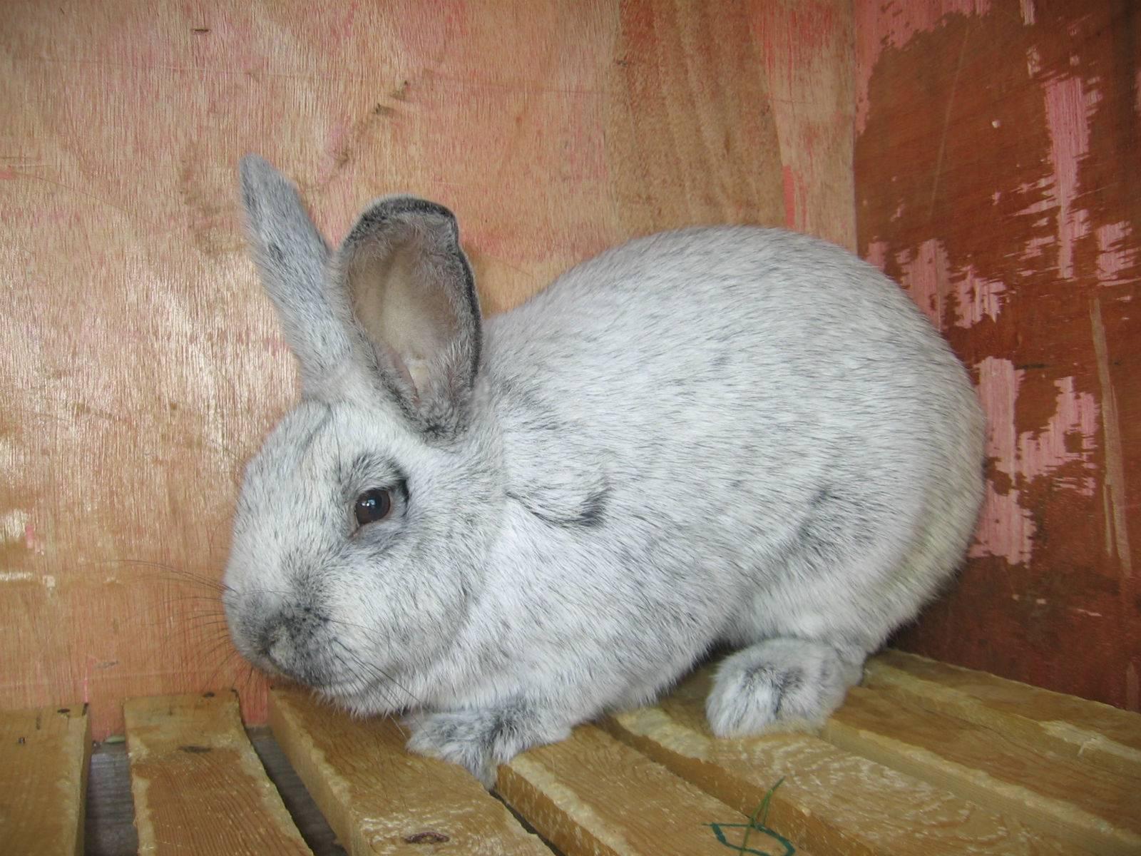Кролик серебро: характеристика, описание, отзывы