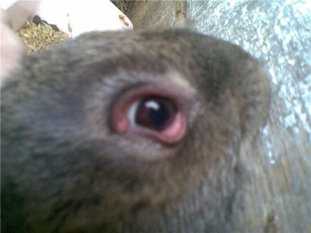 У кролика слезится глаз что делать