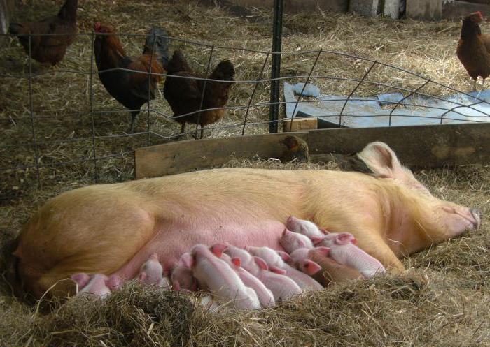 Выращивание свиней: кормление и режим питания, типы рациона