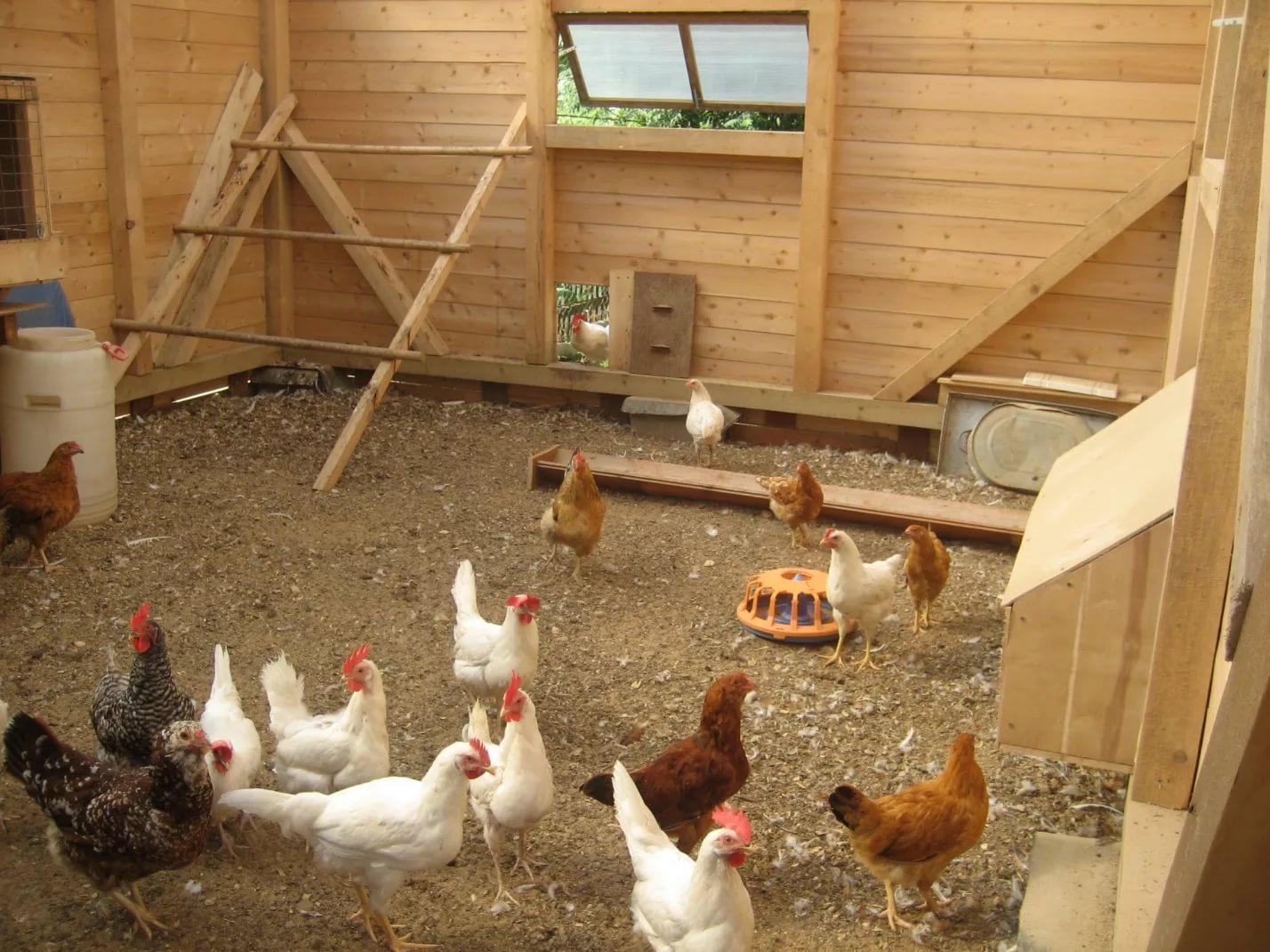 Выращивание куриц несушек в домашних условиях: как ухаживать начинающим, чем кормить, какой птичник нужен