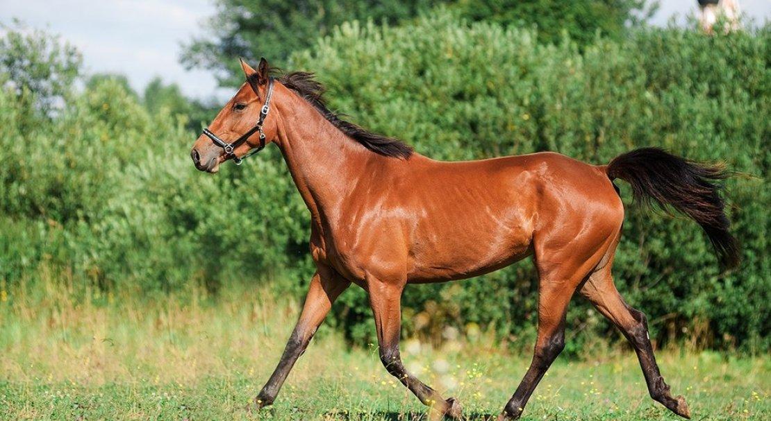 Тракененская порода лошадей — история происхождения и характеристики