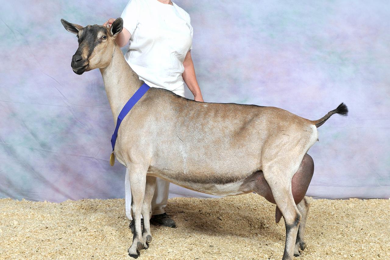 Лучшие породы коз молочного направления без запаха: описание, содержание