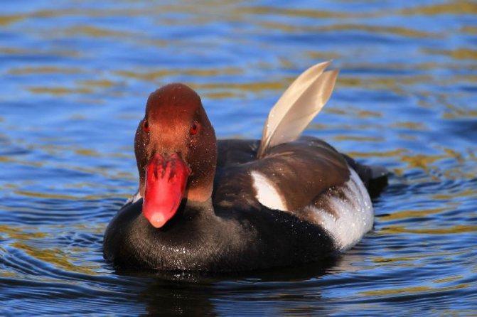 Необычные дикие нырковые утки – красивые обитатели болот и рек