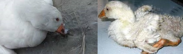 Почему утки падают на ноги и дохнут - что делать, причины