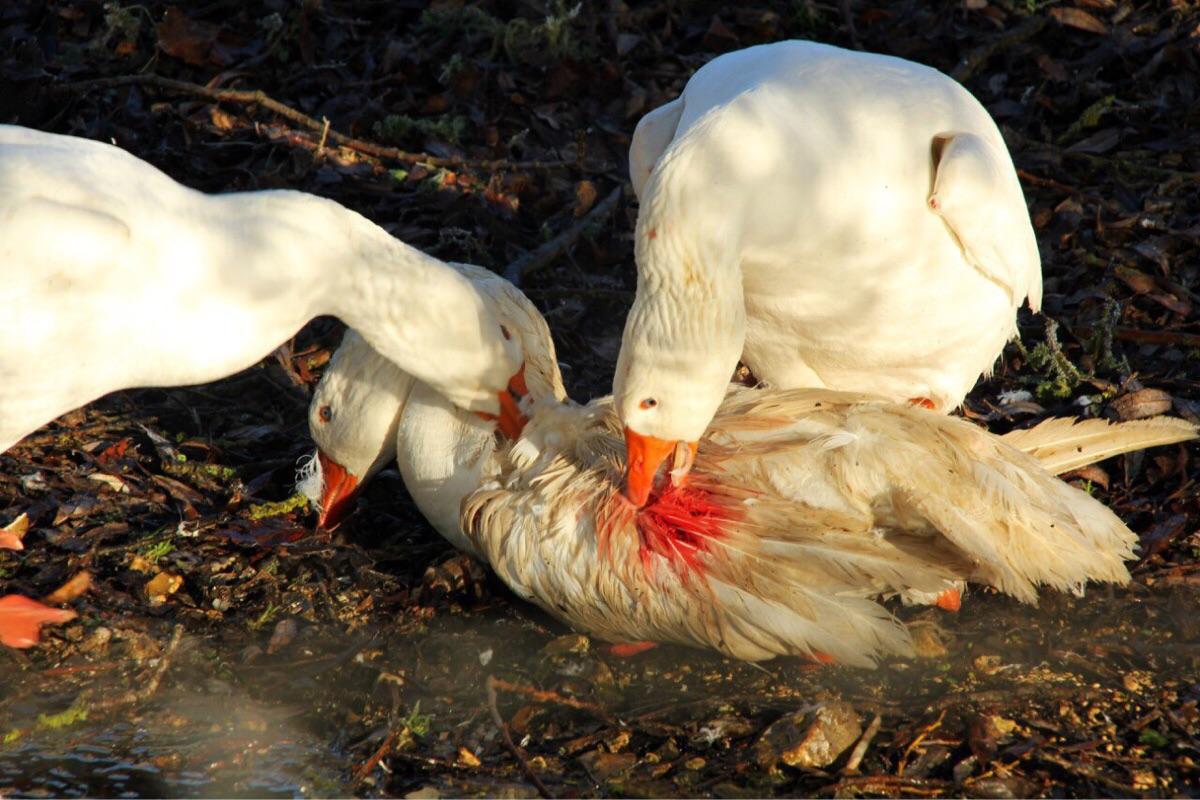 Почему утки щипают перья друг у друга: утята едят перья, что делать