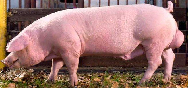 Породы свиней: описание, характеристика продуктивности, уход
