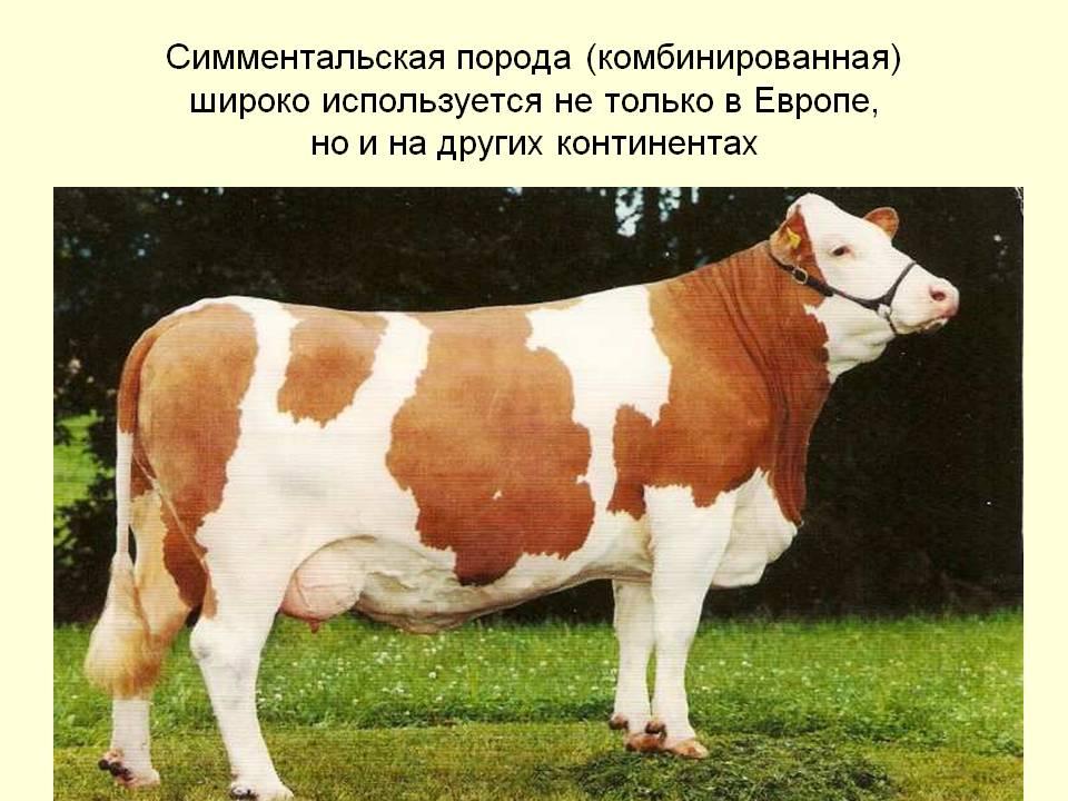 Характеристика симментальской породы коров: описание и достоинства симменталок