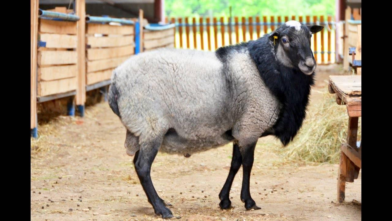 Романовская порода овец: характеристика и фото