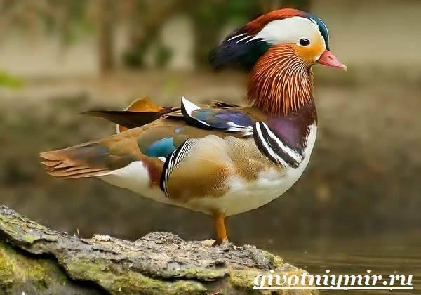 Мандаринка – самая красивая утка на земле