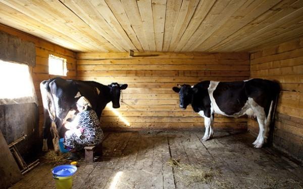 Откорм бычков на мясо в домашних условиях — технология, особенности содержания крс