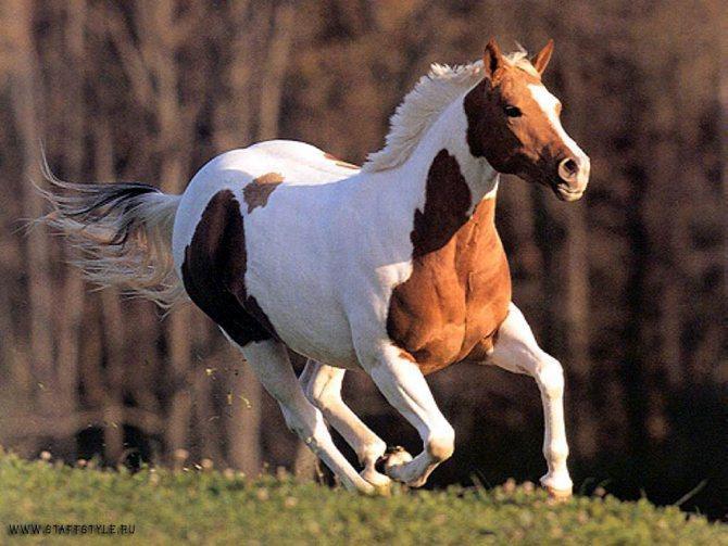 Дикие лошади мустанги, конь мустанг в дикой природе и сельском хозяйстве