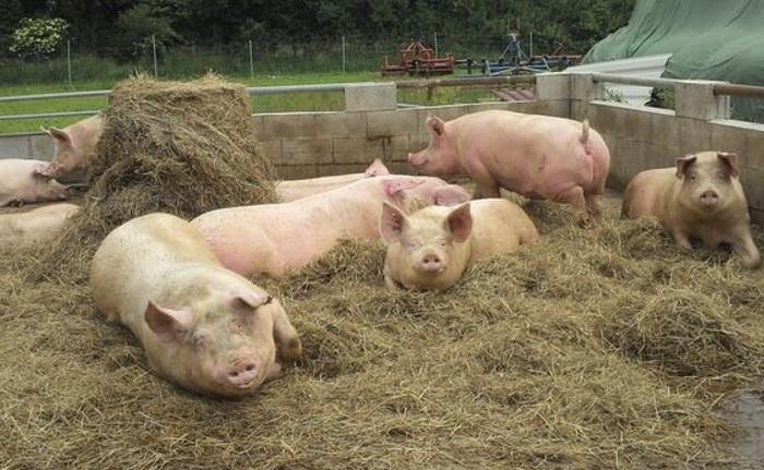 Разведение свиней как бизнес: окупаемость, преимущества и недостатки