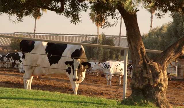 Почему коровье молоко становится горьким, причины изменения вкуса напитка
