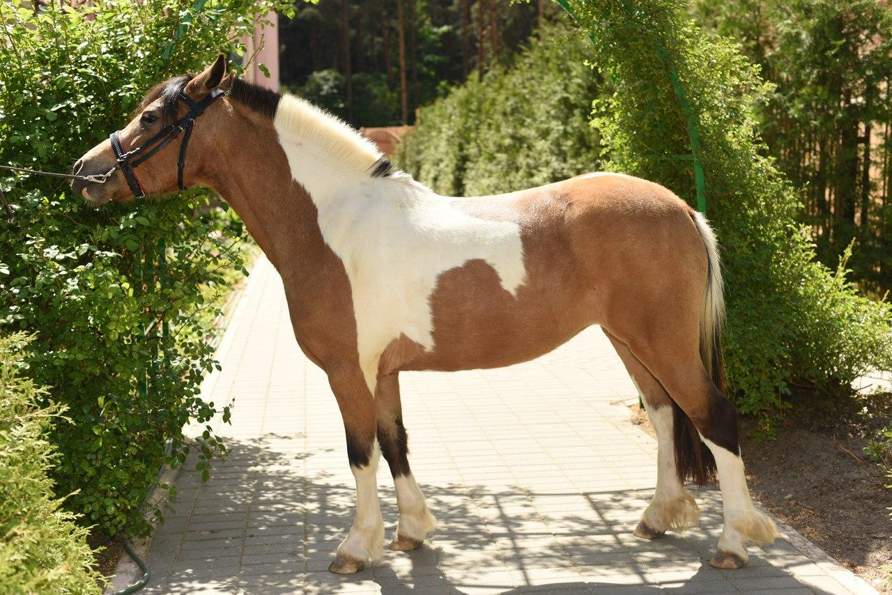 Лошадь пегой масти