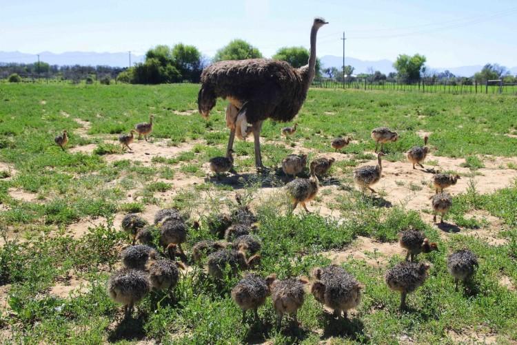 Страусиная ферма как бизнес с нуля в 2020 году. страусы: особенности, виды и разведение