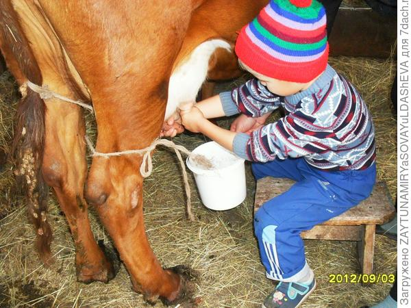 Если корова не встает, что это значит, причины и лечебные меры