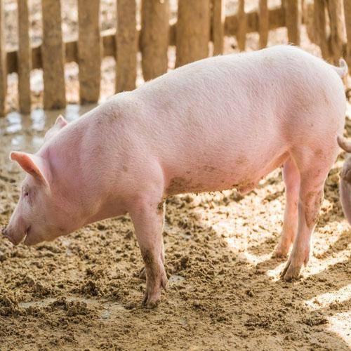 ✅ все о породах свиней для разведения в домашних условиях: описание - tehnomir32.ru