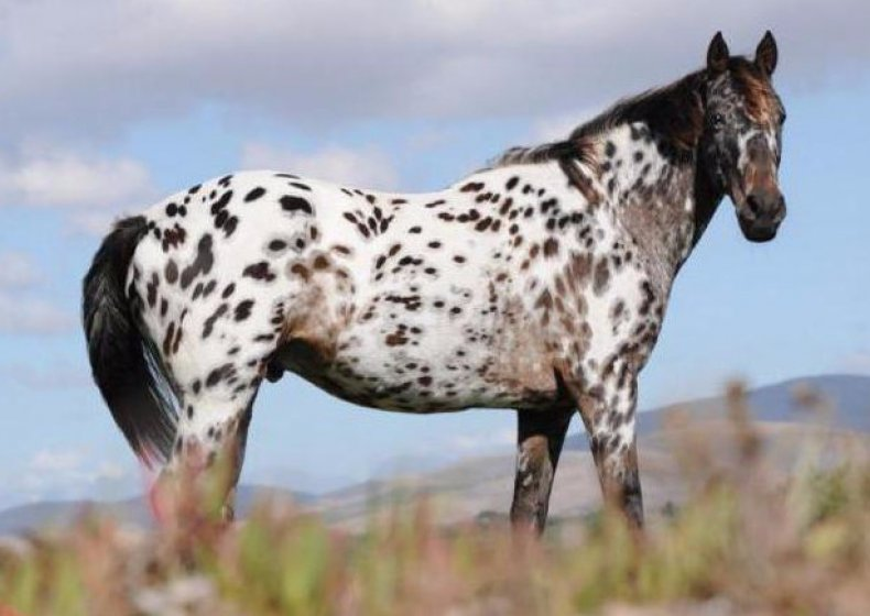Пегая масть лошади: описание, породы, фото